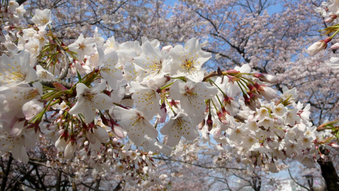 Cherry Blossoms In Tokyo The Best Oldest And The Most Beautiful